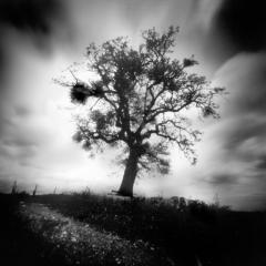 La quercia 4